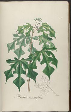 Image of Illustration of Manihot caricaefolia 32