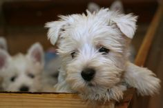 Pictures of West Highland Terriers and Westie mixes. To submit photos of Westies and Westie mixes, you can do so here. Westies, Westie Puppies, Cute Puppies, Dogs And Puppies, Doggies, Chihuahua Dogs, Pet Dogs, Highlands Terrier, West Highland Terrier