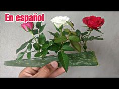 I put ROSES on Aloe Vera and see what happened In this video I present a super cool technique of rooting rose branches I put ROSES on Aloe Vera and see what . Growing Roses, Growing Tree, Growing Plants, Growing Aloe Vera, Garden Bulbs, Garden Plants, House Plants, Garden Trellis, Plantar Rosales