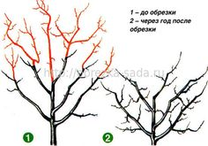 Bonsai Pruning, Tree Pruning, Fruit Trees, Trees To Plant, Prune Fruit, Bonsai Tree Care, Permaculture, Landscape Architecture, Grape Vines