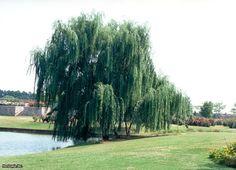 Fast Growing Trees : HGTV Gardens