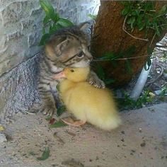 Baby Care how to care for baby ducks Cute Baby Animals, Animals And Pets, Funny Animals, Cute Cats, Funny Cats, Photo Chat, Baby Ducks, Cute Animal Pictures, Baby Pictures