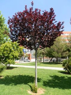 Prunus pissardi Deciduous Trees, Trees And Shrubs, Landscaping Company, Garden Landscaping, Permanent Residence, Black Garden, Land Of Enchantment, Prunus, Spanish Style
