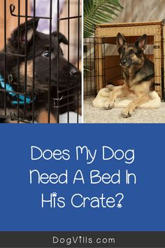 "Are you wondering ""does my dog need a bed in his crate?    ""You might if you've just started crate training your dog and don't know what to put in your puppy's crate.    Fortunately, I've got all the answers you need on how to make your dog's crate more comfortable. Best Puppies, Best Dogs, Dogs And Puppies, German Shepherd Pictures, German Shepherd Puppies, German Shepherds, Crate Training, Training Your Dog, Puppy Crate"