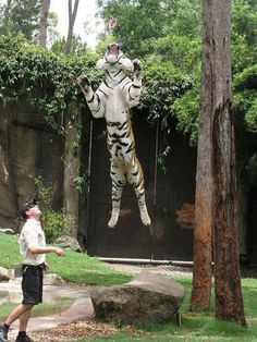 Tiger leaping for meat