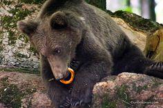 URSI MADE in ROMANIA. Credit foto: Radu Lipsa Black Bear, Brown Bear, Romania, American Black Bear