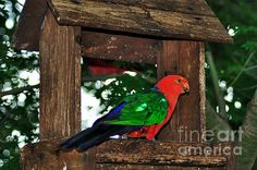 #KING #PARROT #Male #Photography Quality Prints and Cards at:  http://kaye-menner.artistwebsites.com/featured/king-parrot--male-kaye-menner.html  -