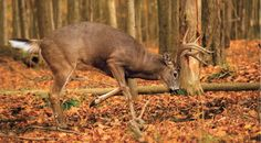 Hunting the Rut: Take a Buck During the Seeking Phase | Field & Stream