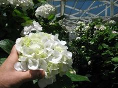 So Happy to hear this kind of response from one of our customers Jacquie of Portsmouth, NH... We sent her these white hydrangea 7-03-14 pictured for a wedding ... Jim what can I say, I had no idea they would be so gorgeous. They are all perfect and the subtle color in them is just what the bride wanted.After the wedding I will be posting glowing online reviews of your product.Truly amazing quality and customer service!!! You rock!!!:):) Jacquie Dodge