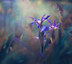 Photographer\'s photo Magda Bognar - Blue Iris
