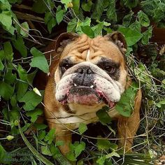 All about Bulldogs! The Hague, The Netherlands ♥ ♥ ♥ Bulldog ♥ ♥ ♥