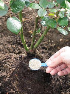 Rosales: Trucos para mantenerlos en mejor estado - Los rosales constituyen casi siempre el principal foco de atención de un jardín florido, siempre y cuando reciban la atención y cuidados adecuados para