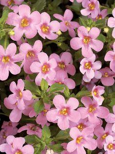Bacopa Scopia® Dark Pink