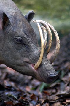 "Babirusa, meaning ""Hog-deer"", are members of the pig family found in Wallacea, or specifically the Indonesian islands of Sulawesi, Togian..."
