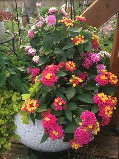 Home Entrance Decor Idea Lantana?Home Entrance Decor Idea Lantana? Lantana Tree, Lantana Flower, Lantana Plant, Vegetable Garden Tips, Container Gardening Vegetables, Big Garden, Garden Pots, Garden Modern, Garden Ideas