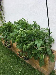 Notre bac potager rempli de pommes de terre ! Planter Rosier, Potager Palettes, Permaculture, Vegetable Garden, Garden Design, Planters, Patio, Vegetables, Deco