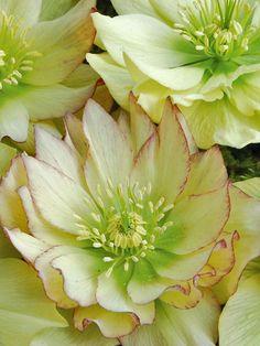 ✯ Helleborus Golden Lotus