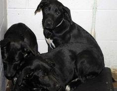 Black lab puppies available for adoption June 14 at high-kill upstate shelter - via examiner.com