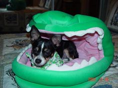 Funny dog bed Funny Dog Beds, Funny Dogs, Chihuahua Dogs, Chihuahuas, Baby Car Seats, Cute Pictures, Children, Young Children, Boys