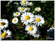 Madelief Spring 2014, Holland, Plants, The Nederlands, The Netherlands, Netherlands, Plant, Planets