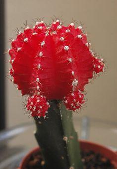 cactus+moon+grafted+gymnocalycium+mihanovichi+hibotan   gymnocalycium mihanovichii hibotan (Ruby Ball, Moon Cactus)   Flickr ...