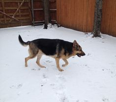 Shiloh loves  snow! Feb 2014