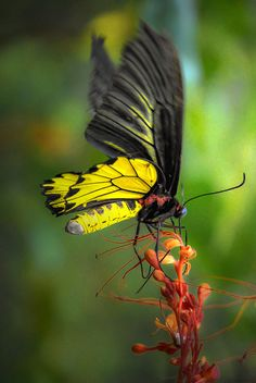 Birdwing Butterfly  ♥ •.¸¸.•ƹ̵̡ӝ̵̨̄ʒ BORBOLETAS ƹ̵̡ӝ̵̨̄ʒ ♥