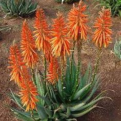 Aloe Safari Orange in garden - Aloes - Plants Watercolor Succulents, Cacti And Succulents, Planting Succulents, Cactus Plants, Planting Flowers, Balcony Plants, Garden Plants, House Plants, Agaves