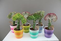Quirky Cactus-like gift - Dragon bones - Euphorbia Lactea - Coral Cactus - Colourful and unusual present - Interesting character and each unique in colour - Very easy care plant - Crested stem - Available with or without colourful ceramic pot - Dragon Bon Christmas Gifts For Girlfriend, Unique Christmas Gifts, Xmas Gifts, Quirky Gifts, Cool Gifts, Best Amazon Gifts, Dragon Bones, Cactus, Unusual Presents