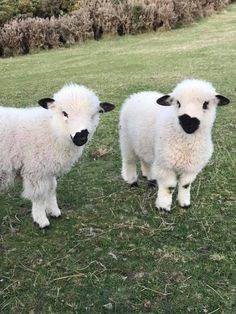 These Blacknose Sheep Are Real Eventhough They Look Like Stuffed Animals - I Can Has Cheezburger? animals These Blacknose Sheep Are Real Eventhough They Look Like Stuffed Animals Baby Farm Animals, Baby Cows, Baby Animals Pictures, Cute Little Animals, Cute Animal Pictures, Cute Funny Animals, Animals And Pets, Baby Sheep, Strange Animals