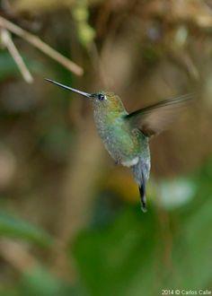 Pico lanza de frente verde / Green-fronted Lancebill (Doryfera ludovicae)