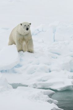 Polar Bears Threatened By Climate Change: Study - The Fish and Wildlife Service is expected to release for public review a draft plan on Thursday for the recovery of polar bears. (Reporting by Laura Zuckerman in Salmon, Idaho; Editing by Cynthia Johnston and Sandra Maler)
