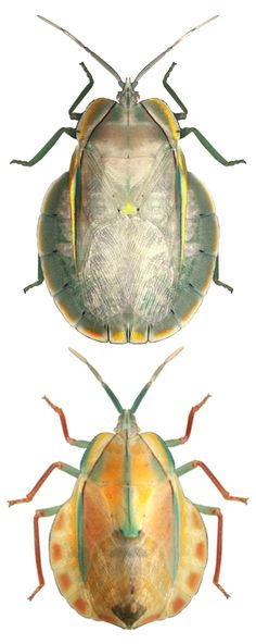 Peltocopta  crassiventris adult and nymph