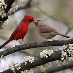 Cardinals/ how beautiful they are