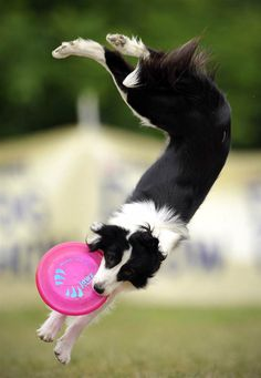 Border Collie catches frisbee in the Skyhoundz Disc Dog European Championship. Budapest, Hungary // photo by Bela Szandelszky-AP
