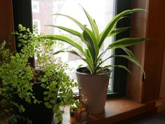 Dumb cane and other plant by window