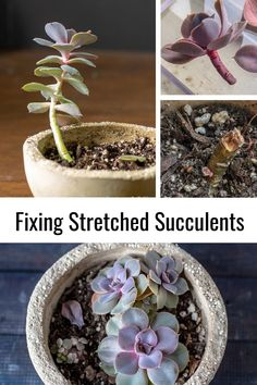 Repotting Succulents, How To Water Succulents, Hanging Succulents, Growing Succulents, Growing Flowers, Growing Plants, Planting Flowers, Succulent Arrangements, Succulent Gardening