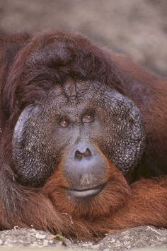 size: Photographic Print: Pensive Orangutan by DLILLC : Botanical Funny Animal Faces, Funny Animals, Monkey Art, Animals And Pets, Wild Animals, Primates, Professional Photographer, Find Art, Framed Artwork