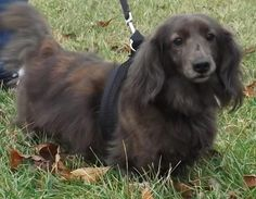 Meet Jamocha, an adopted Dachshund Dog, from Dachshund Rescue of Ohio in Lebanon, OH on Petfinder. Learn more about Jamocha today. Dachshund Rescue, Adoption, Weiner Dogs, Lebanon, Pets, Animals, Searching, Foster Care Adoption, Animales