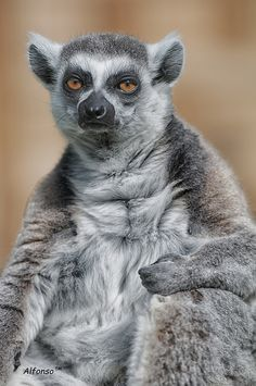 Grumpy-looking lemur. #lol