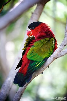 Green wing parrot - St. Cruz de Tenerife ...........click here to find out more http://googydog.com
