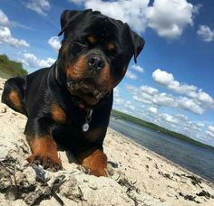 What a gorgeous day at the beach! This Rottweiler only makes it better!!