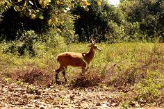 Cervos no Pantanal!  Restaurante Barara, Transpantaneira, Mato Grosso