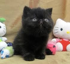 exotic shorthair kittens -