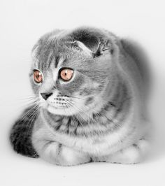 this is a scottish fold kitty