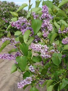 """LILACS - On his Perkins County farmstead, Max Peterson raises over 830 varieties of lilacs. It's the largest private collection of lilacs in the world, a collection consisting of some of the rarest and most beautiful lilacs in existence. It all started in 1969 as a family hobby. The gardens are open to the public. May is the best time to visit. Directions to the farm: From Ogallala go south on Hwy 61 about ten miles. A sign on the west side of the road will say, """"Entering Perkins County."""" Go…"""
