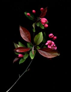 54221-01 Malus | Explore horticultural art's photos on Flick… | Flickr - Photo Sharing!