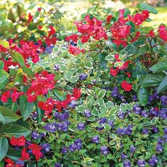 Make a Statement in Shade! Brilliant red 'Dragon Wing' begonias are the perfect backdrop for  creeping 'Summer Wave Blue' wishbone flowers. Both of these shade loving plants flower profusely and grow great in beds, borders, and containers. Such beautiful flowers, love all of them!!