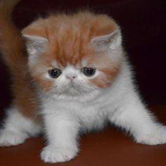catscenter:    By @alanta_exotic_cat  #cat #cats #catlover #catlovers #animal #pet #petstagram #lovecats #ilovecats #kitty #sweet #love #beauty #cutecat #exotic #exoticcat #amazingcat #exotickitten #persiancat by catsofworld  baddcats.com baddcats cats cat kittens kitten kitty