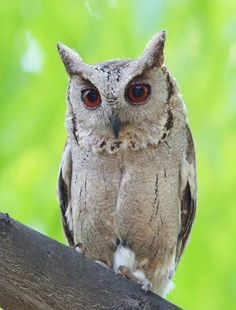 Indian scops owl Lucknow,India